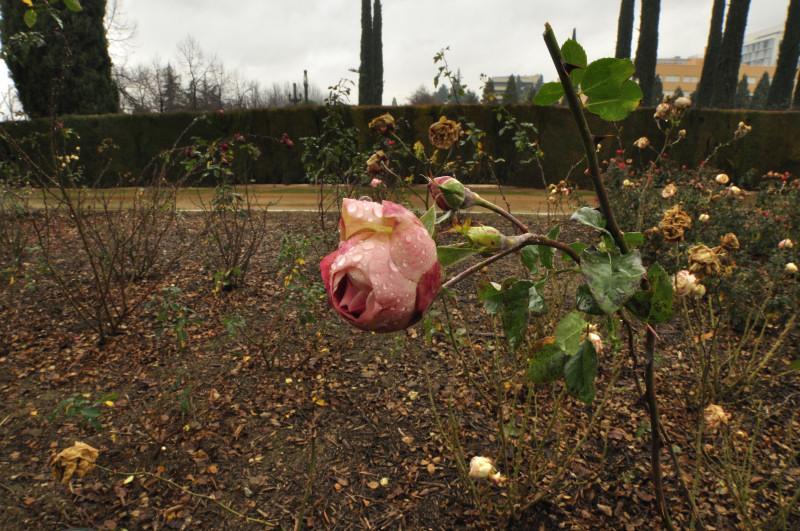 parque garcia lorca, rosa inclinada