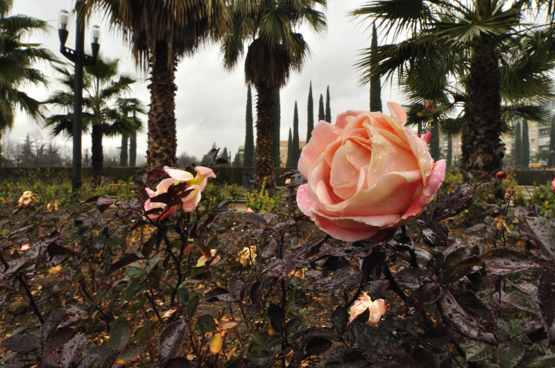 parque garcia lorca, rosa tibia