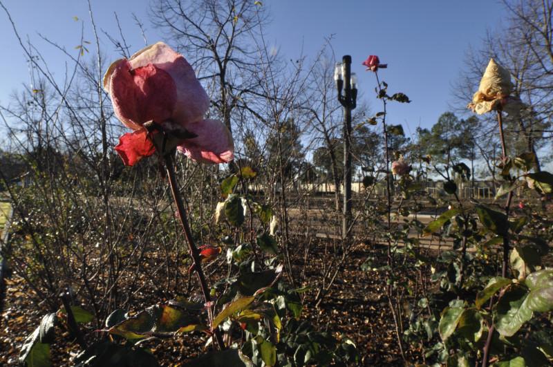 parque garcia lorca, rosa y capullos